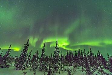 A swirl of aurora over the snow-covered trees of the boreal forest at the Churchill Northern Studies Centre, Churchill, Manitoba.