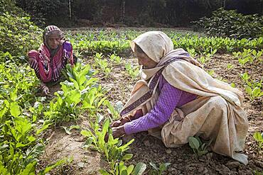 Widows working in the orchard, in Ma Dham ashram for Widows of the NGO Guild for Service, Vrindavan, Mathura district, India