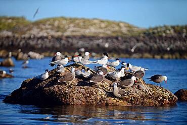 Elegant Terns (Sterna elegans) and Heermann's Gull (Larus heermanni) at La Rasa Island, Sea of Cortez, Mexico