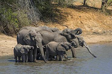 African Elephant (Loxodonta africana) in Kruger National Park, South Africa gathering for a drink and to meet old friends.