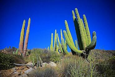 A large Mexican giant cardon cactus (Pachycereus pringlei) on Isla Santa Catalina, Baja California Sur, Mexico.