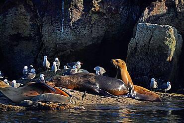 California sea lions (Zalophus californianus) and Heermann's gulls (Larus heermanni) on shore, Isla Rasa, Baja California, Mexico.