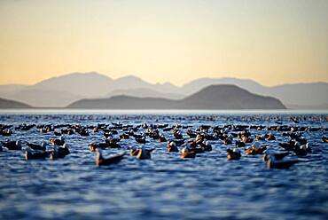 Thousands of Heermann's gulls (Larus heermanni) rest on Sea of Cortez waters, Baja California Sur, Mexico