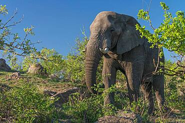 African Elephant (Loxodonta africana) in Kruger National Park, South Africa, feeding in a relaxed pose beside the road.