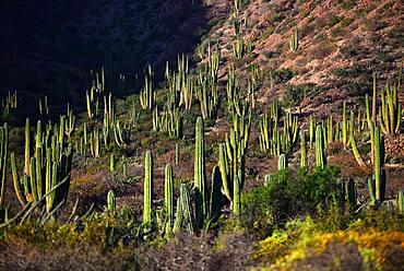Mexican giant cardon cactus (Pachycereus pringlei) on Isla San Esteban, Baja California, Mexico.