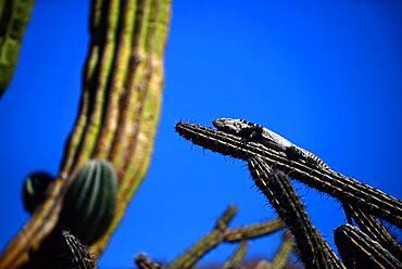 San Esteban Spiny-tailed Iguana (Ctenosaura conspicuosa), an endemic iguana found only on Isla San Esteban in the Gulf of California, Sea of Cortez, Mexico