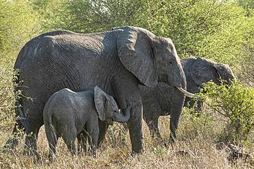 Baby African Elephant (Loxodonta africana) in Kruger National Park, South Africa leans on it's mother for comfort and safety support.
