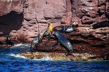 California sea lions (Zalophus californianus) in Baja California Sur, Mexico.