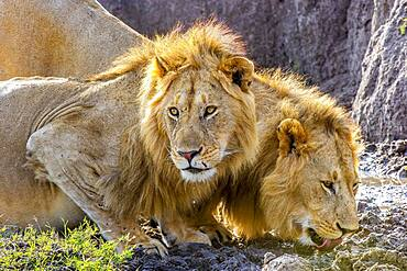 Two male African Lions (Panthera leo) in the Masai Mara, Kenya, quenching their thirst after feeding on a wildebeest.