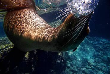 California sea lion (Zalophus californianus) swim in waters off Los Islotes, Sea of Cortez, Baja California Sur, Mexico