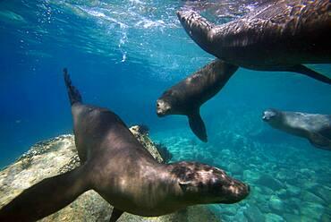 California sea lions (Zalophus californianus) swim in waters off Los Islotes, Sea of Cortez, Baja California Sur, Mexico