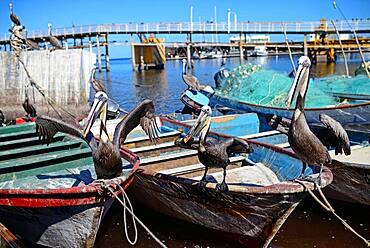 Pelicans on fishing boats, Santa Rosalia, Baja California Sur, Mexico