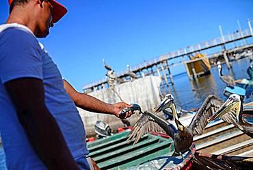 Man feeds pelicans in Santa Rosalia, Baja California Sur, Mexico