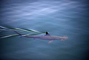 A smooth hammerhead shark (Sphyrna zygaena), swims under the surface in open ocean, breaking the water with its dorsal fin, Sea of Cortez, Mexico