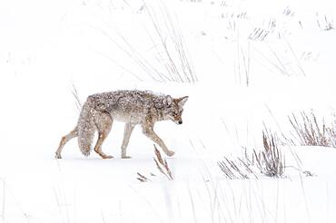 COYOTE (Canis latrans) IN A SNOWSTORM IN YELLOWSTONE NATIONAL PARK, WYOMING, USA