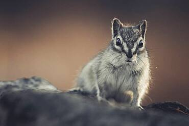 A chipmunk (Tamias minimus) crawls cautiosly towards the photographer. Yukon Territory, Canada