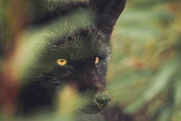 A black colored red fox baby (Vulpus vulpus) on the hunt. Yukon Territory, Canada.