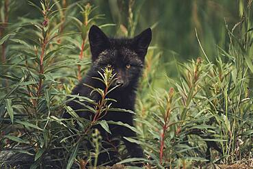 A black colored red fox baby (Vulpus vulpus) hides in between some fireweed. Yukon Territory, Canada