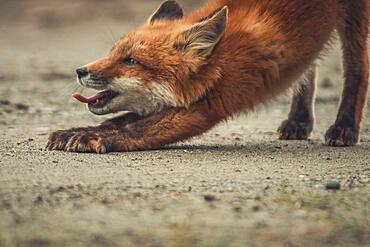 A young red fox (Vulpus vulpus) stretches and yawns while he is exploring the world. Yukon Territory, Canada