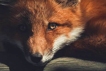 A young red fox (Vulpus vulpus) is enjoying the warming rays of the sun. Yukon Territory, Canada