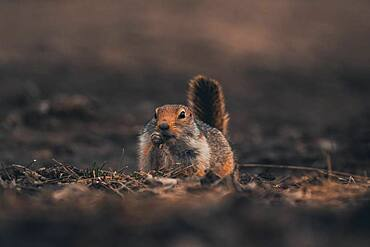 An arctic ground squirrel Urocitellus parryii) eats gras but looks like it'd be smoking a cigar. Yukon Territory, Canada