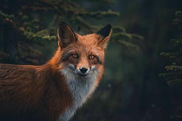 Portrait of a red fox (Vulpus vulpus). Yukon Territory, Canada