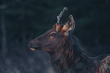 A young elk bull (Cervus canadensis) walks into the morning light. Yukon Territory, Canada
