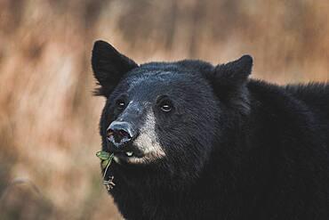 A male black bear eats the last green of the year (Ursus Americanus), Yukon Territory, Canada