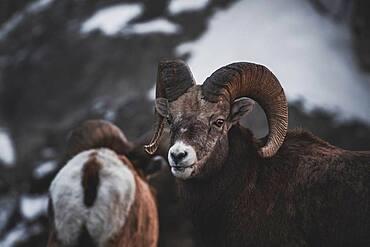 Bighorn Rams (Ovis canadensis) in Yukon Territory, Canada
