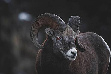 Bighorn Ram (Ovis canadensis) in Yukon Territory, Canada