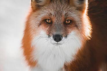 Close up portrait of a red fox, Yukon Territory, Canada