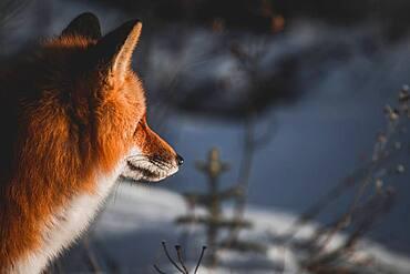 Red fox looking at horizon, Yukon Territory, Canada