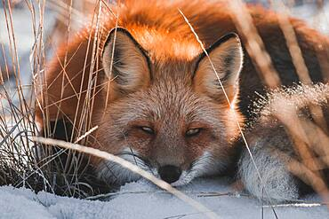 A sleepy red fox in Yukon Territory, Canada
