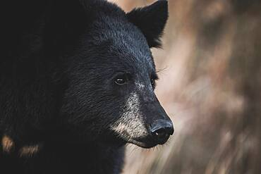 Close up portrait of male black bear (Ursus americanus), Yukon Territory, Canada.