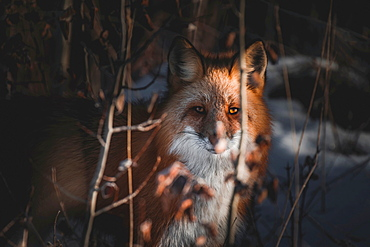 A red fox stares right at the camera while a ray of light illuminates one of his amber colored eyes, Yukon Territory