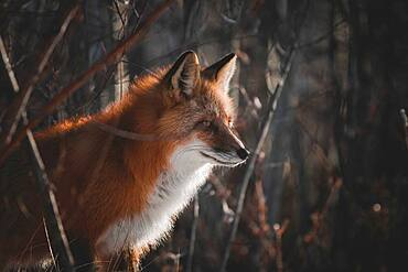A red fox stands at the edge of the forest in the evening sun, Yukon Territory