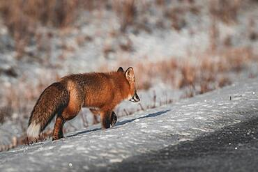 A red fox with fluffy winter fur walks through the snow along the side of a winter road, Yukon Territory