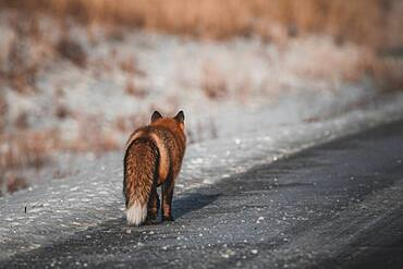 A red fox with fluffy winter fur walks along the side of a winter road, Yukon Territory