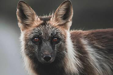 A black coloured red fox, Yukon Territory, Canada