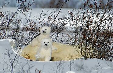 Mother Polar Bear (ursus maritimus) with cubs COY near snow den at Wapusk National Park, Hudson Bay, Churchill area, Manitoba, Northern Canada