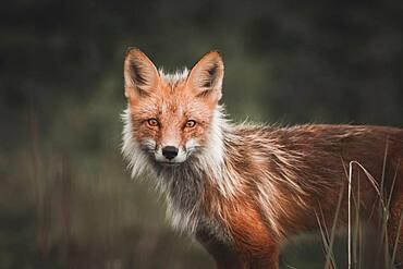 Portrait of Red Fox in Yukon Territory, Canada