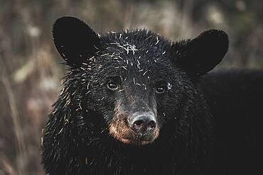 Portrait of female Black Bear (Ursus americanus) in Yukon Territory
