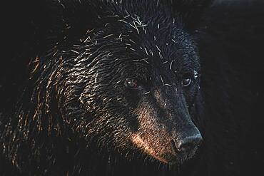Portrait of Black bear (Ursus americanus) at sunset, Yukon Territory, Canada