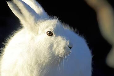 Adult Arctic Hare (Lepus arcticus) near Hudson Bay, Churchill area, Manitoba, Northern Canada