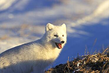 Arctic Fox (Alopex lagopus) near Churchill, Manitoba, Northern Canada