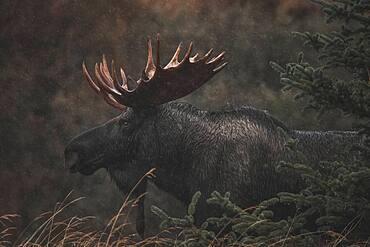 Alaskan bull moose (alces alces gigas) in Yukon Territory, Canada
