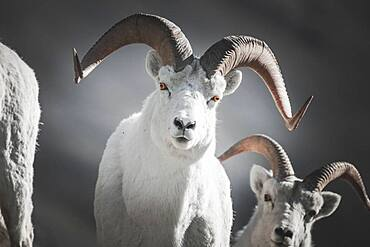 A male Dall Sheep in the Mountains of the Yukon Territory, Canada (Ovis dalli dalli). Yukon Territory, Canada