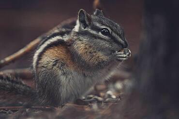 A little Chipmunk (Tamias minimus) snacks a little seed. Yukon Territory, Canada