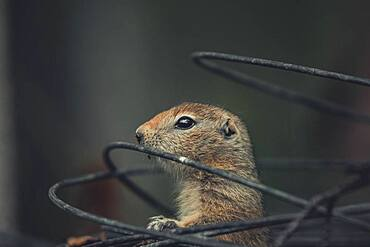 An Arctic Ground Squirrel Baby (Uroticellus parryii) looks out of a roll wire. Yukon Territory, Canada
