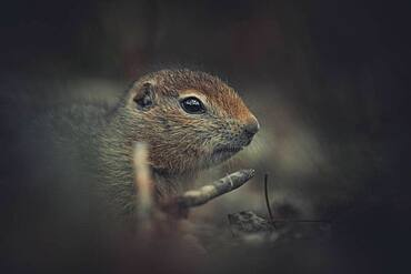An Arctic Ground Squirrel Baby (Uroticellus parryii) sits and thinks. Yukon Territory, Canada